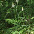 Fleur Rayponce en épi - Phyteuma spicatum, espèce référencée sur le site internet Biodiversité en Brie des Morin, région proche de Provins